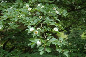 Stewartia pseudocamellia. Photo by Peter Baxter