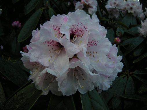 Rhododendron uvariifolium 'Yangtze Bend'. Photo by David Knott