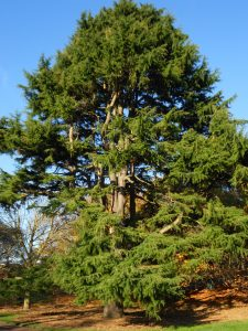 Cedrus deodara. Photo by David Knott