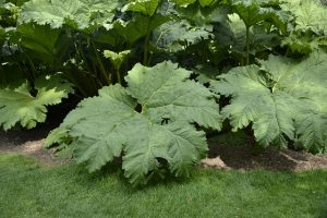 Gunnera manicata. Photo by Nathan Kelso
