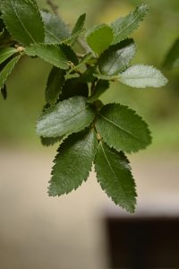 Nothofagus dombeyi. Photo by Nathan Kelso