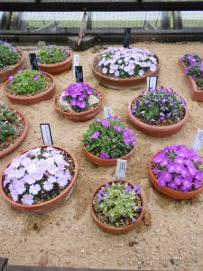 Primula allionii collection. Photo by Tony Garn