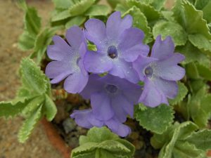 Primula marginata 'Inshriach Form' . Photo by tony Garn
