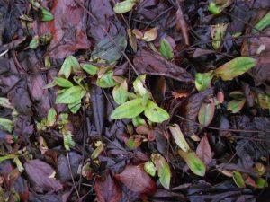 Pulmonaria angustifolia 'Munstead Blue' . Photo by Tony Garn