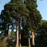Redwood grove in woodland garden