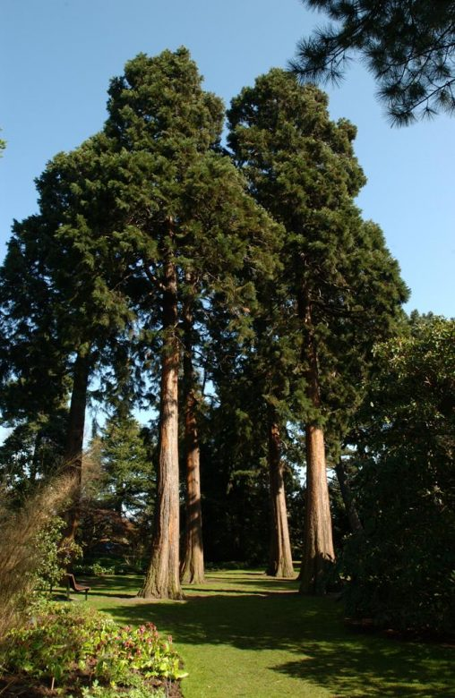 Redwood grove in woodland garden