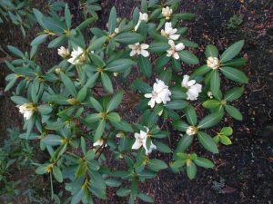 Rhododendron sp. Photo by Tony Garn