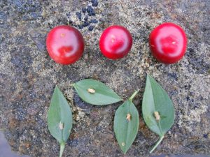 Ruscus aculeatus - cladodes and fruits. Photo by Tony Garn
