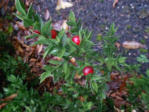 Ruscus aculeatus (hermaphrodite). Photo by Tony Garn