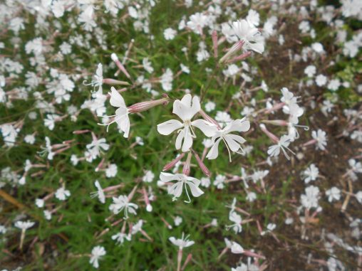 Silene italica. Photo by Tony Garn