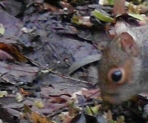 Squirrel damage Pulmonaria. Photo by Tony Garn