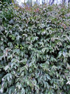 Trachelospermum jasminoides 'Variegatum'. Photo by Tony Garn