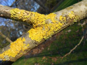 Xanthoria parietina growing on Tapiscia sinensis. Photo by Tony Garn