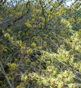 Hamamelis mollis with Hamamelis mollis 'Pallida' in foreground