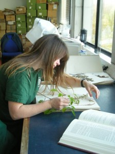 Lesley Scott identifying the unknown Desmodium