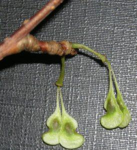 Euptelia polyandra seed