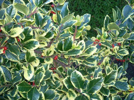 Ilex aquifolium 'Golden King'