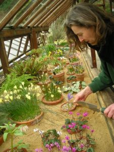 Elspeth plunging alpines for display in the sand bed