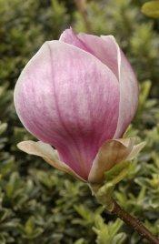Magnolia sprengeri var elogata