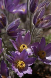 Pulsatilla vulgaris ssp. grandis