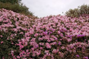 Rhododendron williamsiana
