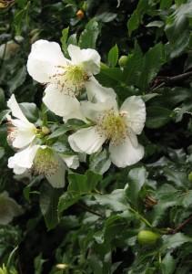 Eucryphya glutinosa