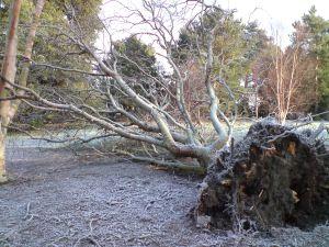 Fallen Betula utulis var. utulis. Photo by Tony Garn
