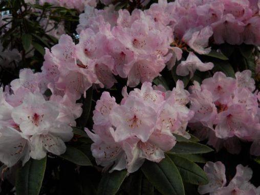 Rhododendron adenosum