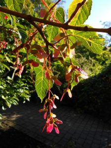 Acer pectinatum ssp. laxiflorum. Photo by Tony Garn