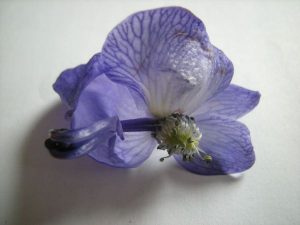 Aconitum carmichaelii 'Arendsii' - showing flower parts