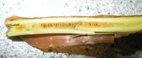 Actinidia kolomikta var gagnepainii - pithy core