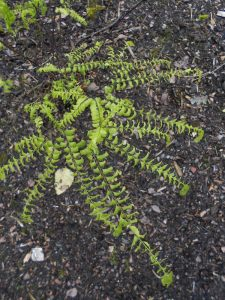 Adiantum aleuticum. Photo by Tony Garn