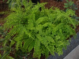 Adiantum pedatum. Photo by Tony Garn