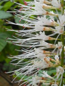 Aesculus parviflora. Photo by Tony Garn