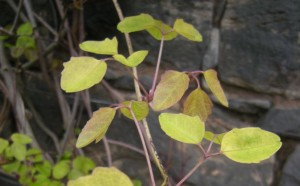 Akebia trifoliata - new growth