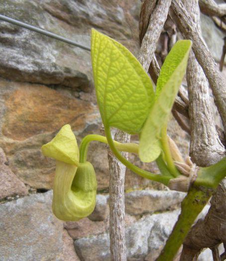 Aristolochia manshuriensis