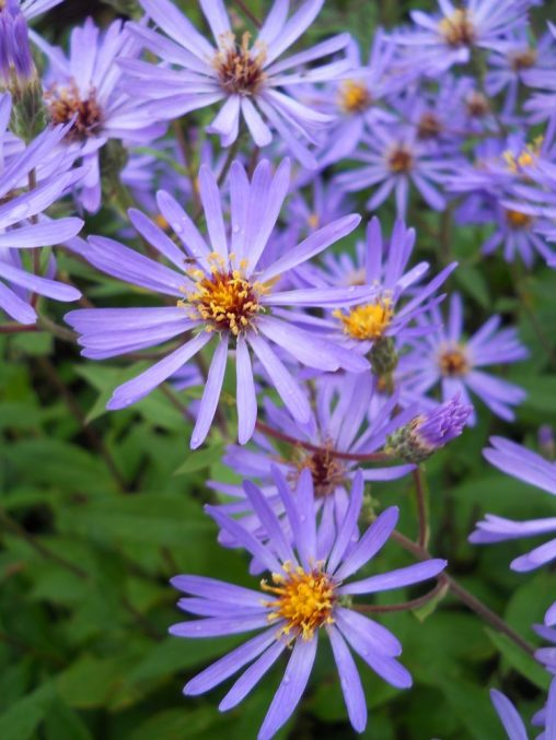 Aster macrophyllus 'Twilight'. Photo by Tony Garn