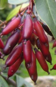 Berberis chitria