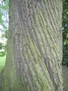 Castanea sativa - bark