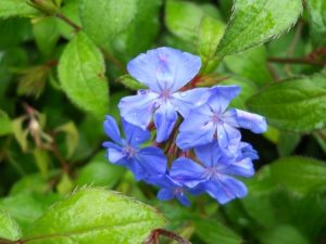 Ceratostigma minus. Photo by Tony Garn