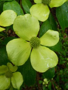 Cornus capitata. Photo by Tony Garn