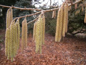Corylus colurna.Photo by Tony Garn