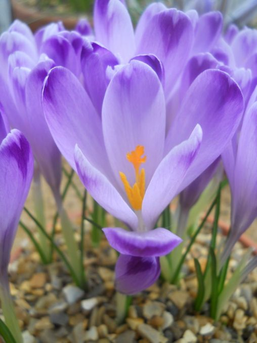 Crocus vernus. Photo by Tony Garn