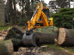 Removal of Quercus robur. Photo by Tony Garn