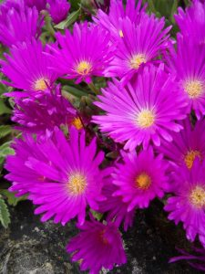 Delosperma lavisiae. Photo by Tony Garn