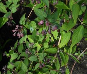 Deutzia purpurascens. Photo by Tony Garn