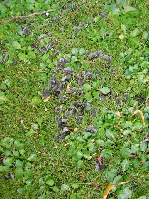 Dog Lichen, Peltigera canina. Photo by Tony Garn