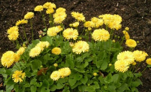 Doronicum orientale 'Spring Beauty'