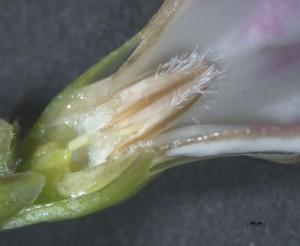 Elytropus chilensis - microscope image