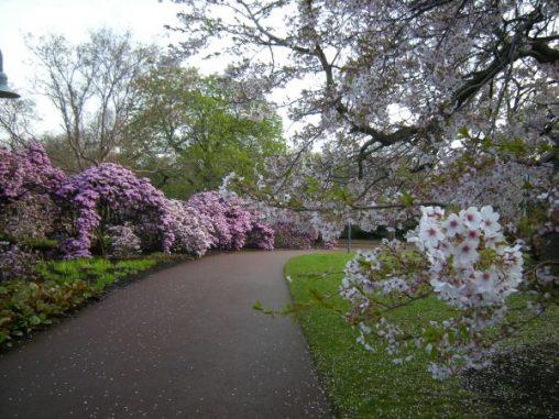 East gate entrance: Rhododendron rubiginosum var rubiginosum and Prunus x yedoensis in foreground